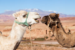 Two dromedaries. In the Atlas Mountains of Morocco Royalty Free Stock Photos