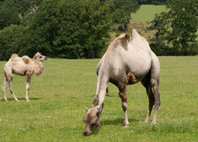 Two dromedaries, grazing and chewing Royalty Free Stock Photo