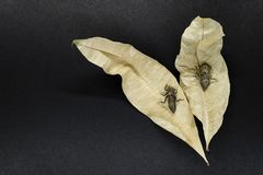 Two Dry and Abandoned Dragonfly Cocoons Sitting on Dry Yellow Leaves on Black Background Surface stock images