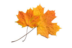 Two dry autumn leaves isolated. Over white Stock Images