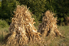 Two dry corn ears stacks Royalty Free Stock Photos