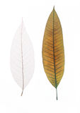 Two dry leaves Royalty Free Stock Images