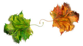 Two dry maple-leafs, orange and green Royalty Free Stock Photo