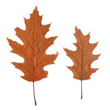 Two dry oak leaves. Isolated on white background Stock Image