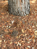 Two dry pine cones fallen under a pine tree Stock Photo