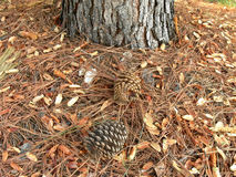 Two dry pine cones under a pine tree Royalty Free Stock Photography
