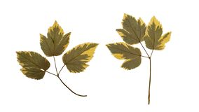 Two dry pressed leaves isolated on white background.  stock photography