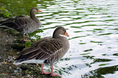 Two duck Royalty Free Stock Photography