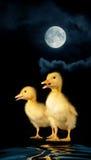 Two duck Stock Photos