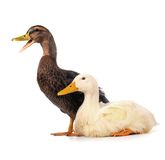 Two duck Royalty Free Stock Photo