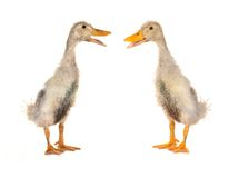 Two duck Stock Photo