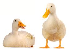 Two duck Stock Images