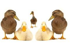 Two duck Royalty Free Stock Photos