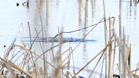 Two duck bird black wild floats on water in lake natural reeds conditions. Two  duck bird black wild floats on water in lake natural reeds conditions stock video