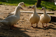 Two Duck Couples Out For Walk. Mr and Mrs Duck meet Mr and Mrs Duck whilst out for a stroll stock photos