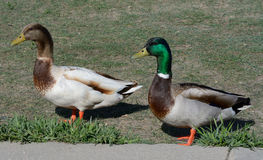Two duck dtakes Stock Photography