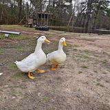 Two duck near the pond Royalty Free Stock Images