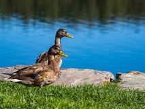 Two Duck Next to Water on Green Grass. Two ducks standing side by side on a green lawn next to a pond Stock Photo