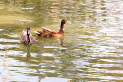 Two duck swim Royalty Free Stock Photo