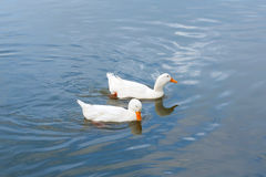 Two duck swimming in water. Royalty Free Stock Photos