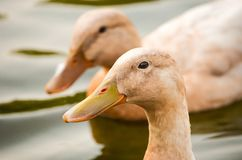 Two Duck on Top of Water Royalty Free Stock Images