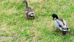 Two duck walking on green grass stock video