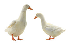 Two  duck Stock Photography