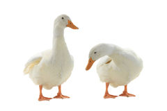 Two  duck Stock Photos