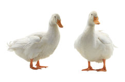Two  duck Stock Image