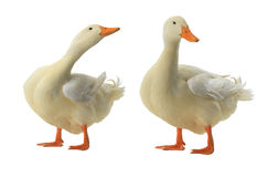 Two duck Royalty Free Stock Images