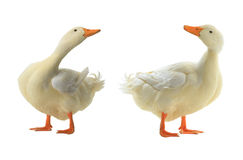 Two duck Royalty Free Stock Image