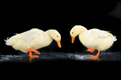 Two  duck white Royalty Free Stock Image