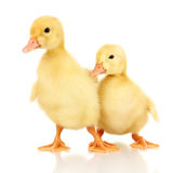 Two duckling Stock Photography
