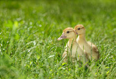 Two duckling on green meadow Stock Photo