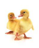 Two ducklings Stock Photo