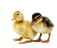 Two ducklings Royalty Free Stock Photos