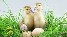 Two ducklings celebrate Easter. Two ducklings sits and celebrate Easter stock video