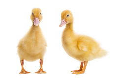 Two Ducklings (7 days old) stock images