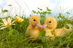 Two ducklings in grass. Clover garden with two cute easter ducklings Royalty Free Stock Images