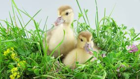 Two ducklings in grass and one of them eats grass. Funny two ducklings sitting and one of them eats a stalk of grass and quacks stock footage