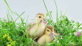 Two ducklings in green grass. Two ducklings in grass and one of them eats a stalk of grass stock video footage