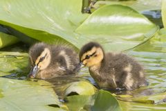 Two ducklings on the lily pads at Southampton Common. A pair of ducklings on the lily pads on Southampton Common royalty free stock image
