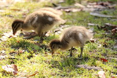 Two Ducklings Stock Images