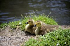 Two ducklings restinng by a stream royalty free stock images