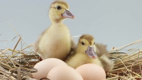 Two ducklings sits in nest near three eggs. Two ducklings sits in nest of hay near three eggs stock video footage