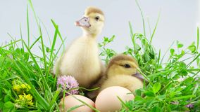Two ducklings sitting in grass near eggs. Celebrate Easter stock video