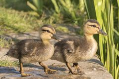 Two ducklings standing together royalty free stock image