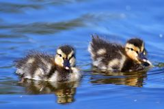 Two  ducklings are swimming in the pond.  stock image