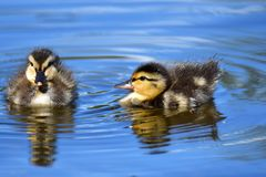 Two  ducklings are swimming in the pond.  royalty free stock image