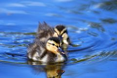 Two  ducklings are swimming in the pond.  stock photos